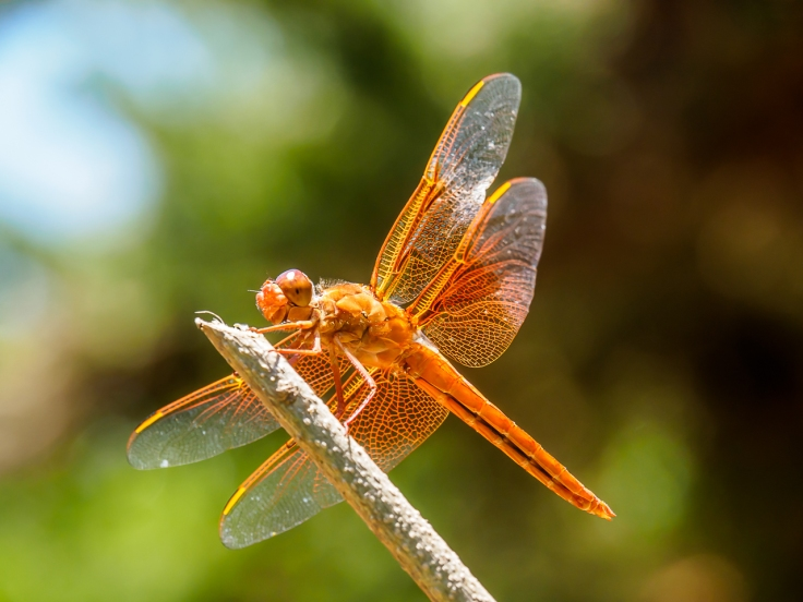 Flame Skimmer in my garden